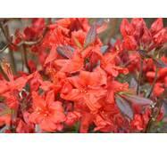 Рододендрон листопадний Fireball 4 річний 40-70cм, Рододендрон листопадный Фиребалл / Фаэрболл, Rhododendron