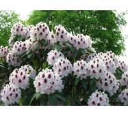 Рододендрон гібридний Calsap-  2 річний, Рододендрон гибридный Калсап, Rhododendron Calsap