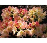 Рододендрон гібридний Flautando 1 річний, Рододендрон гибридный Флаутандо, Rhododendron Flautando