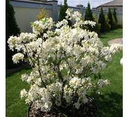 Рододендрон листопадний Schneegold 3 річний, Рододендрон листопадный Шниголд, Rhododendron Schneegold
