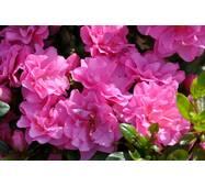 Азалія японська Rosinetta 4 річна , Азалия японская /рододендрон Розинетта, Azalea japonica Rosinetta