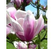 Магнолія Суланжа Alexandrina 80-100см, Магнолия Суланжа Александра, Magnolia x Soulangeana Alexandrа
