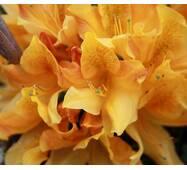 Рододендрон листопадний Christopher Wren 2 річний, Рододендрон листопадный Кристофер Врен, Rhododendron