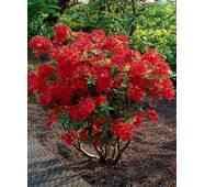 Рододендрон листопадний Crosswater Red 2 річний, Рододендрон листопадный Кросвоте Ред, Rhododendron Crosswater