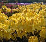 Рододендрон листопадний Limetta 2 річний, Рододендрон листопадный Лиметта, Rhododendron Limetta