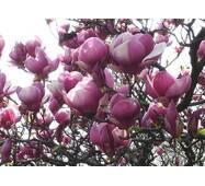 Магнолія Суланжа Рожева з насіння 3 річна 0,6-0,8м, Магнолия Суланжа Розовая из семян, Magnolia X soulangeana