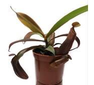 Непентес Сангвинея Растение хищник AlienPlants Nepenthes Sanguinea