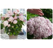 Гортензія деревовидна Candybelle Marshmallow (ОКН-2533) за 2-4 л