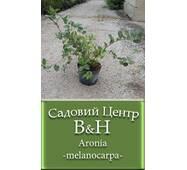 Арония черноплодная (Aronia melanocarpa))