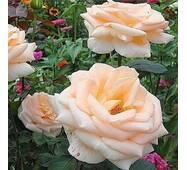 Саджанці троянд Осиана