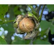 Саженцы грецкого ореха Клишковский (однолетний)