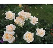 Саженцы чайно-гибридных роз Версилия