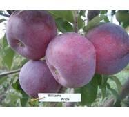 Саджанці яблуні Вільямс Прайс