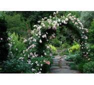 Саджанці плетистих троянд Венуста Пендула