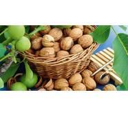 Саженцы грецкого ореха Идеал (двухлетний)