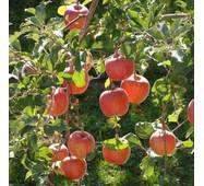 Саджанці яблуні Цукеркова