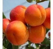 Саджанці абрикоси Хар Гранд