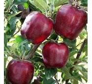 Саджанці яблуні Ред Чиф Дворічний