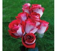 Саджанці чайно-гібридних троянд Латин Леді