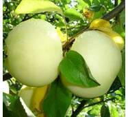 Саджанці яблуні Біле Наливання