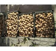 Саджанці волоського горіха Велетень (трирічний)