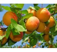 Саджанці абрикоси Оранж Ред