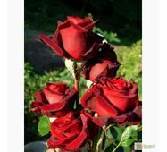 Саджанці троянд Чорна магія
