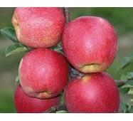 Саженцы яблони Макинтош