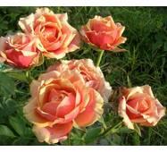 Саженцы чайно-гибридных роз Черри Бренди