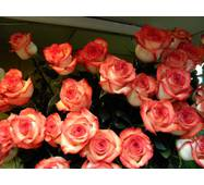 Саджанці троянд Ігуана