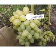 Саженцы винограда Бажена