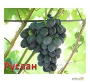 Саджанці винограду Руслан