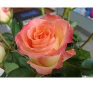 Саженцы роз Дуэт