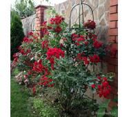 Саджанці плетистих троянд Пол Скарлет Клаймер