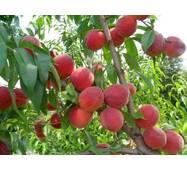 Саджанці персика Инка