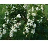 Саженцы Снежноягодника белого