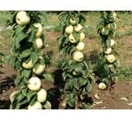 Саджанці колоновидной яблуні Малюха