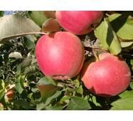 Саджанці яблуні Пирос