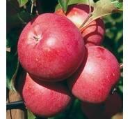 Саджанці яблуні Бені Шогун