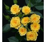 Саджанці бордюрних троянд Свит Дрим Крим