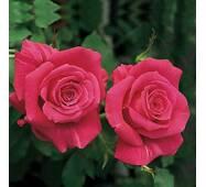 Саджанці троянд Пари Матч