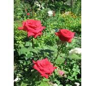Саджанці троянд Софі Лорен