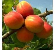Саджанці абрикоси Кіото