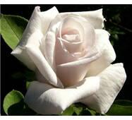 Саджанці троянд Білуга