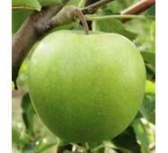 Саджанці яблуні Гренни Смит
