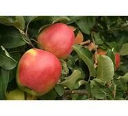 Саджанці яблуні Лигольд