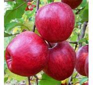 Саджанці яблуні Камео
