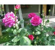 Саджанці чайно-гібридних троянд Юрианда