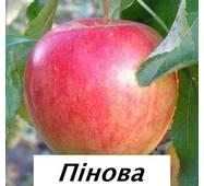 Саджанці яблуні Пинова