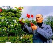Саженцы роз Луи де Фюнес